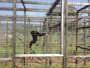 Ler Gibbon at Wales Ape & Monkey Sanctuary