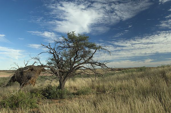 Weavers nest in tree, Xaus Lodge, Kgalagadi Transfrontier Park, Northern Cape.